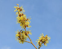 Hamamelis  Branch Stock Images