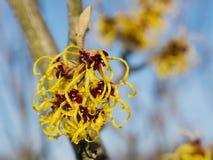 Hamamelis de la hamamelis que florece en último invierno Fotos de archivo