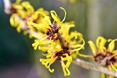 Hamamelis in fioritura Immagine Stock Libera da Diritti
