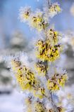 Hamamelis Stock Photography
