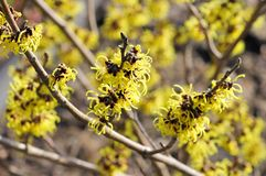 Hamamelis Stock Photo