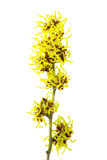 Hamamelis isolated Stock Photos