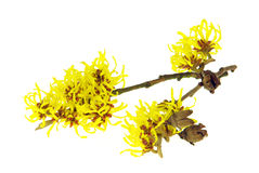 Hamamelis isolated Stock Photography