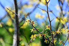 Hamamelis japonica Royalty Free Stock Photo
