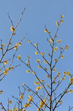 Hamamelis japonica Stock Photos
