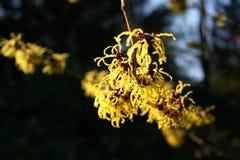 hamamelis lub czarownicy leszczyny kwiecenie w wczesnej wiośnie zdjęcie royalty free