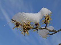 Hamamelis mollis - Witch-Hazel in winter Royalty Free Stock Image