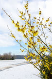Hamamelis mollis yellow flowers in snow landscape Stock Photo