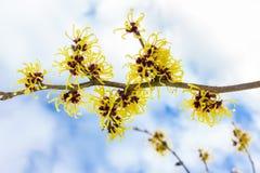 Hamamelis mollis z kolorów żółtych kwiatami chmurnieją i niebieskie niebo Obraz Royalty Free