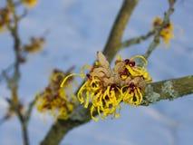 Hamamelis que florece en el último invierno 2 Fotografía de archivo libre de regalías