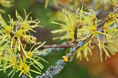 Hamamelis virginiana stock photo