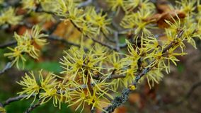 Hamamelis virginiana stock video footage