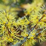 Hamamelis virginiana Stock Photos