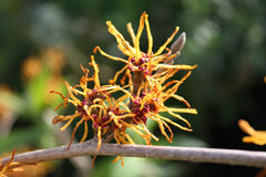 Hamamelis Witch Hazel flower March UK Stock Photos