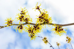 Hamamelismollis met gele bloemenwolken en blauwe hemel Royalty-vrije Stock Afbeelding