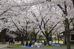 Hamani picnic - Sakura Stock Photos