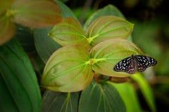 Hamata Tirumala, μπλε πεταλούδα τιγρών από την Αυστραλία Έντομο της Νίκαιας στην πράσινη, συνεδρίαση πεταλούδων στην πράσινη άδει Στοκ Φωτογραφίες
