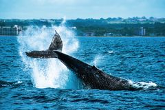 Humpback Whale Tail Slapping the Water in Maui, Hawai stock photography