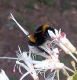 Hambriento manosee la abeja Foto de archivo