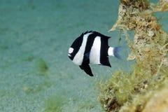 Hambug dascyllus (dascyllus aruanus) in the Red Sea. Stock Image