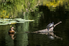 Hamburg City Park Green pond river water Turtle duck. Hamburg City Park Green pond river water Turtle and duck Stock Photo