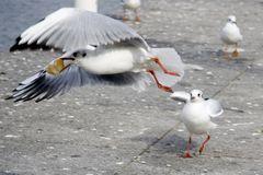hamburg seagulls Obrazy Royalty Free