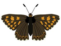 Hamearis lucina butterfly Stock Images