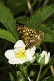 Hamearis lucina / The Duke of Burgundy butterfly. On flower Royalty Free Stock Images