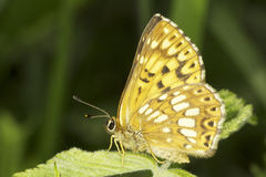 Hamearis lucina / The Duke of Burgundy butterfly Stock Photography