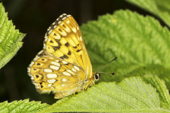 Hamearis lucina / The Duke of Burgundy butterfly Stock Image