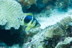 Hameau barrée en roseau de corail images stock