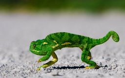 Hameleon Royalty Free Stock Images