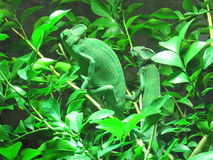 Chameleon, Hameleon. Chameleons or chamaeleons (family Chamaeleonidae) are a distinctive and highly specialized clade of lizards. The approximately 160 species Stock Images