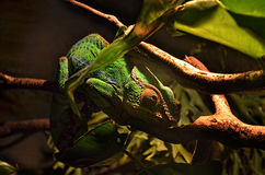 Сhameleon lizard on a tree branch. At a terrarium Royalty Free Stock Photography