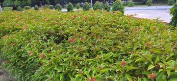 Free Hamelia Patens Flowers Or firebush Or Hummingbird Bush Red Flower Stock Images - 216221304