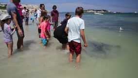 Tourists at Hamelin Bay. Hamelin Bay, Australia - Jan 1, 2018: Tourists touching Eagle Rays on the shore, one of best places in Australia to spot wild sting rays stock video footage
