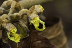 Hamemelis början som blommar Arkivfoto