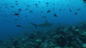 Hamer hoofdhaai het duiken Onderwater Video de Galapagos eilanden Vreedzame Oceaan stock video