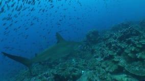 Hamer hoofdhaai het duiken Onderwater Video de Galapagos eilanden Vreedzame Oceaan stock footage