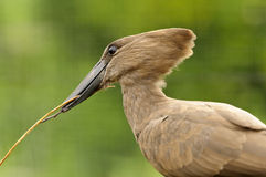 Hamerkop Royalty Free Stock Photography