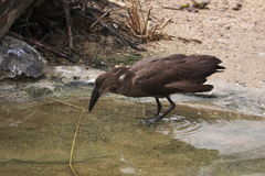 Hamerkop Royalty Free Stock Photo
