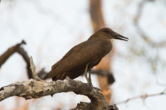 Hamerkop Stock Photography