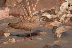 Hamerkop. In Kruger National Park, South Africa Stock Image