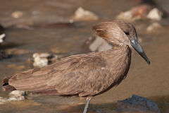 Hamerkop. In Kruger National Park, South Africa Stock Images