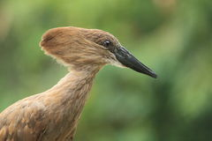Hamerkop Stock Photo