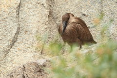 Hamerkop Royalty Free Stock Image