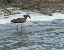 Hamerkop in Africa Royalty Free Stock Photos
