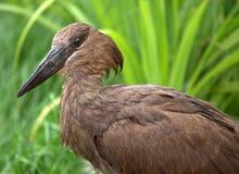 Hamerkop bird Royalty Free Stock Images