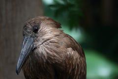 Hamerkop Bird Close-Up Royalty Free Stock Photos