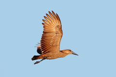 Hamerkop bird in flight Royalty Free Stock Photos